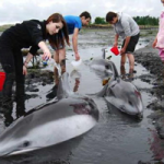Stranded Pacific White-Sided Dolphins Outside Campbell River
