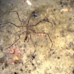The Itsy-Bitsy Spider… Lives at Sea?
