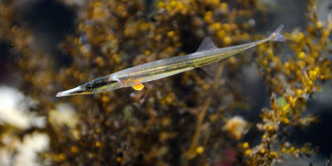 Look for the male tubesnouts in the B.C. Coast gallery's Whytecliff exhibit