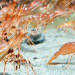 'Tis the Season for B.C. Spot Prawns