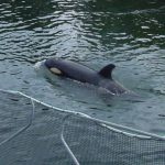 A Decade Later: Springer, the First Wild Killer Whale Rescue