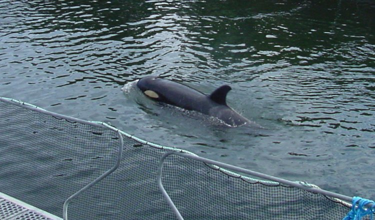 Springer in 2002 at Dong Chong Bay just before her pod swam by and she was released back to the wild.Photo Credit Vancouver Aquarium