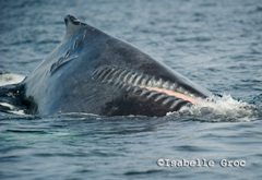 Humpback whales still face threats such as propeller strikes.