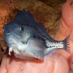 """This Chubby Fish is More than Just a """"Lump"""""""