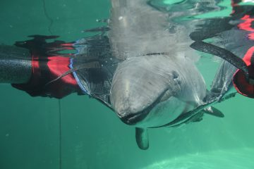 Harbour porpoise receives 24-hour care at Vancouver Aquarium Marine Mammal Rescue Centre