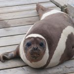 Ribbon Seal Strays Far from Icy Home