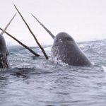 Beware of Polar Bears When Tagging Narwhals