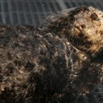 Long-term Care Begins for Sea Otter