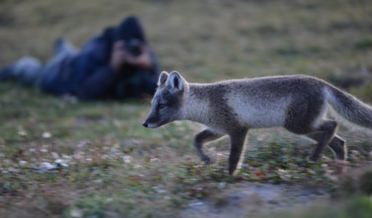 "Our staffers traveling in the Arctic had the pleasure of an up-close-and-personal ""foxy"" encounter."