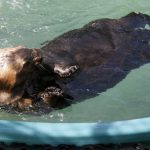 Rescued Sea Otter Contributes to Population Health Risks