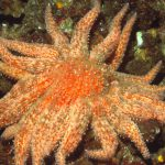 Sound the Alarm – a Sunflower Star is Headed this Way!