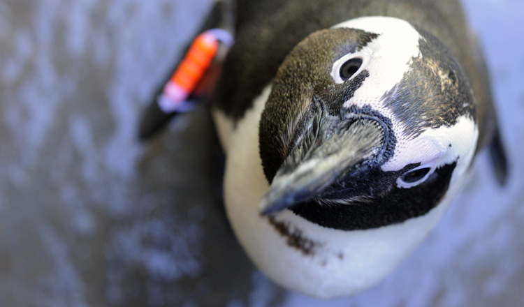 Despite a popular misconception, penguins are not Arctic animals.