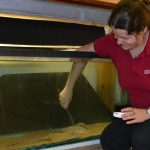 Former Teenage Fish Geek Contributes to Tiger Stingray Knowledge