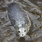 Tracking Rehabilitated Seals Released in the Wild