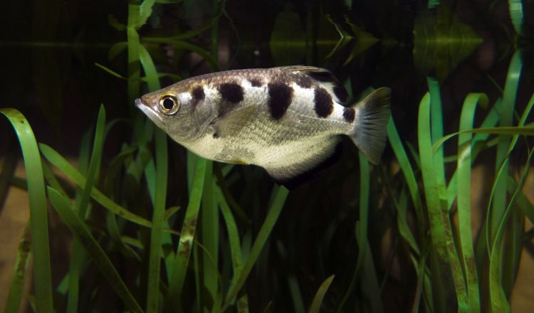 This banded archerfish lurks at the surface of the water looking for something to eat.