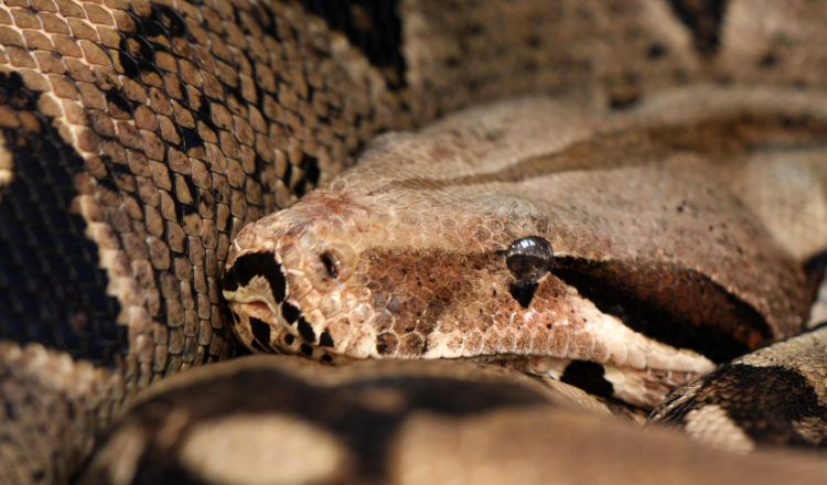 The distinctive markings of a boa constrictor allows it to camouflage in the jungles of Central and South America.
