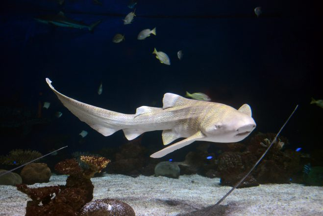 The stunning zebra shark, one of the Aquarium's new residents for The Secret World of Sharks and Rays.