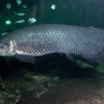 An Ancient Fish's Legacy is Alive and Well at the Aquarium