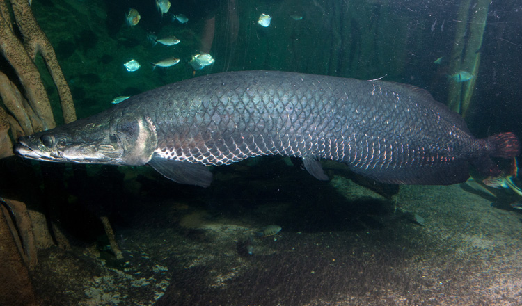 An ancient fish s legacy is alive and well at the aquarium for Big freshwater aquarium fish