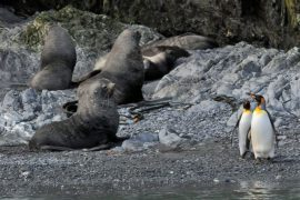 South Georgia Island is home to fur seals and King Penguins, among other species. Photo credit: Shawn Siak.