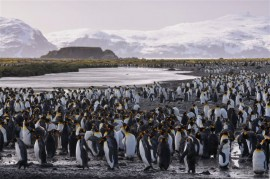 King Penguins abound on this island. Photo credit: Shawn Siak.