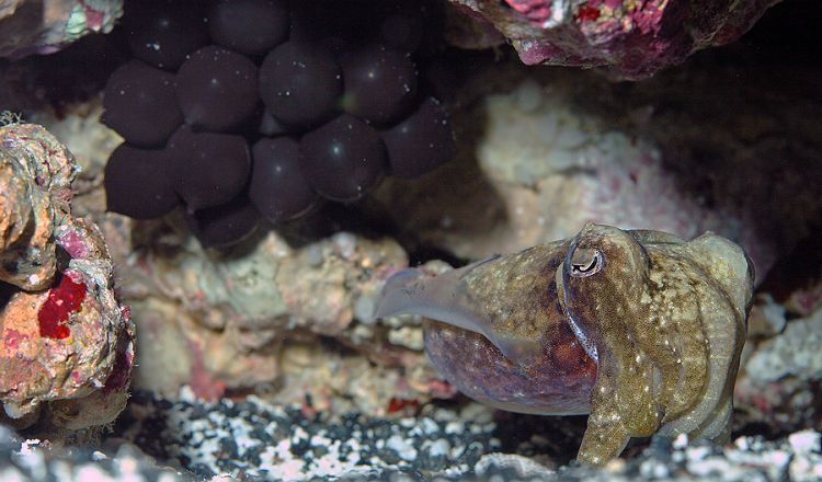Food, Not Cuddles for Cuttlefish Babies – Ocean Wise's ...