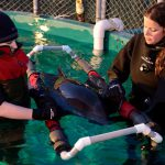 Rescued Harbour Porpoise Receives Critical Care