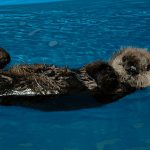 Aquarium Opens its Doors to Rescued Sea Otter Pup