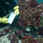 Date Extended for Divers: Lingcod Egg Mass Survey