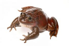 The Oregon spotted frog is an endangered species in Canada.