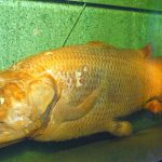 The Coelacanth: A Living Fossil