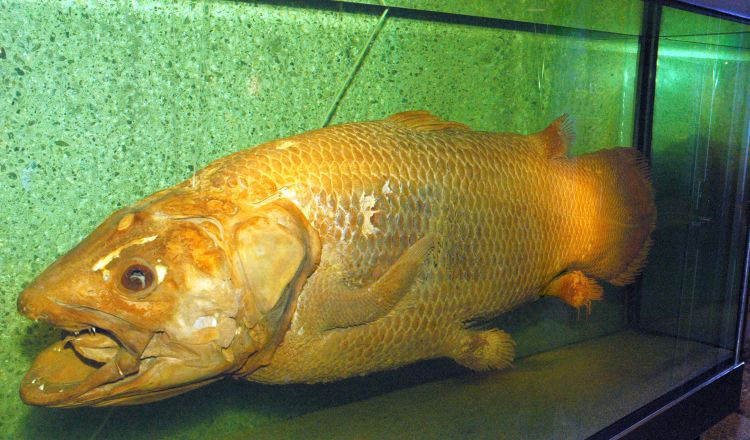 The Coelacanth: A Living Fossil – Ocean Wise's AquaBlog