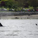 """Vancouver Orca Sighting Quite a """"Bigg's"""" Deal"""