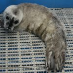 Rescued Seal Pup Doing Well at Aquarium Rescue Center