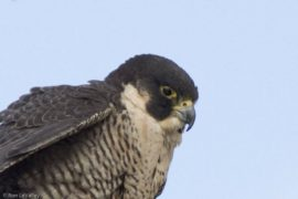 This peregrine falcon keeps a watchful eye over Triangle Island. Credit: Ron LeValley