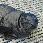 Marine Mammal Rescue of the Week: Nix
