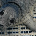 Marine Mammal Rescue of the Week: Rosette