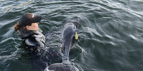 Levi, harbour porpoise, was released back into the wild today in Saanich Inlet. Photo credit: Vancouver Aquarium.
