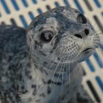 Marine Mammal Rescue of the Week: Halo