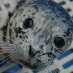 Marine Mammal Rescue of the Week: Pan and Vega