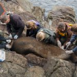 Entangled Sea Lions Rescued by Vancouver Aquarium