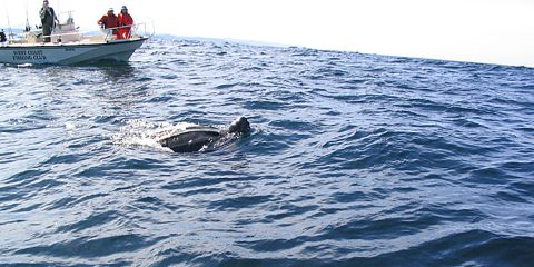 Leatherback sea turtle sighted at sea. Photo credit: Slawek Skorupinski.