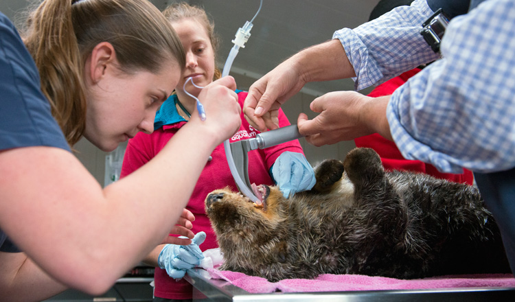 Staff at the Vancouver Aquarium Marine Mammal Rescue Centre work to save a sea otter suffering from gunshot wounds. Photo credit Vancouver Aquarium.