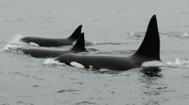 Bigg's killer whales eat marine mammals, unlike resident killer whales that eat fish.