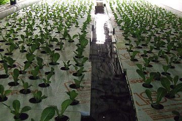 A&M Aquaponics' sustainable tilapia and lettuce farm in Hamilton, ON. Photo credit: A&M Aquaponics.