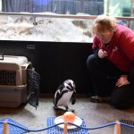 Get Up Close to an African Penguin