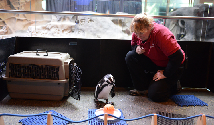 Hope, an African penguin, plays with a ball as part of an indoor enrichment session that also gives guests the opportunity to learn more about this endangered species. Photo credit: Vancouver Aquarium.