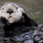 Cute, Playful Sea Otters – More Than Meets the Eye