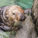 Meet Our Newest Rescued Sea Otter Walter