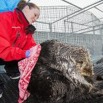 Sea Otter Rescued from Whiffen Spit